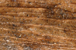 Image of <i>Stagonospora samarorum</i>