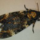 Image of Death's Head Hawkmoth