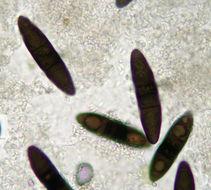 Image of <i>Massaria inquinans</i> (Tode) De Not. 1844