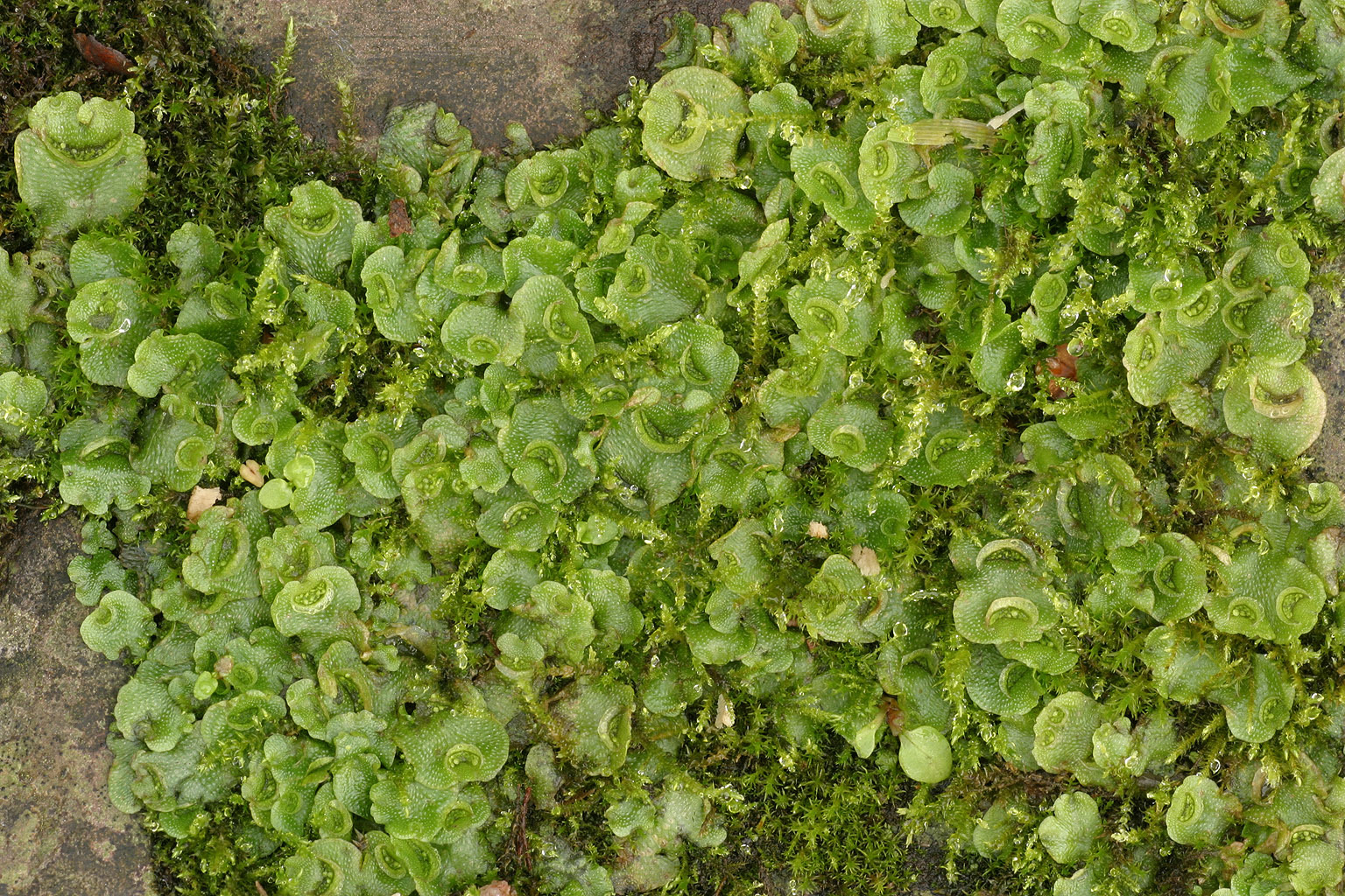 Image of Crescent-cup liverwort