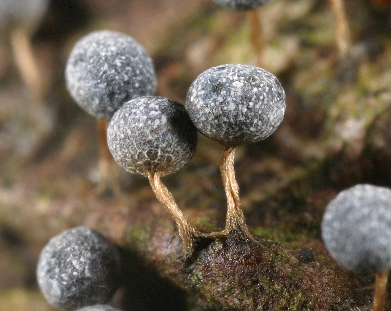 Image of <i>Badhamia melanospora</i>