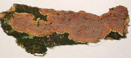 Image of <i>Peniophora proxima</i> Bres. 1913