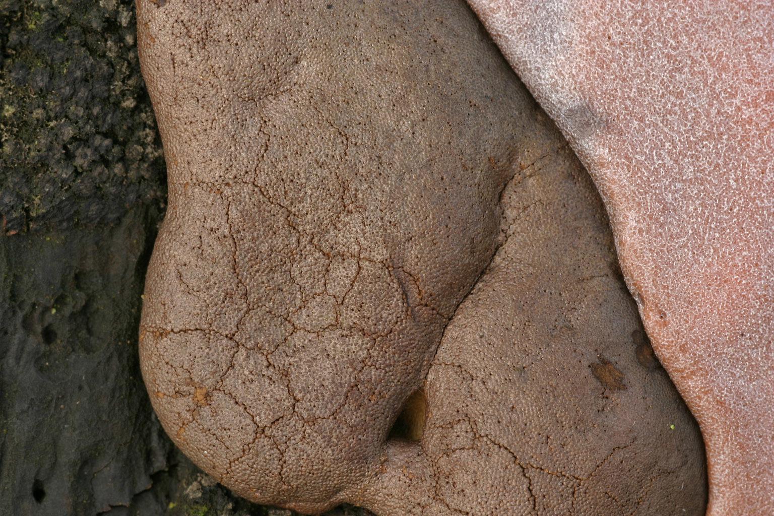 Image of <i>Dictydiaethalium plumbeum</i>