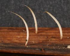 Image of <i>Pterula caricis-pendulae</i> Corner 1970