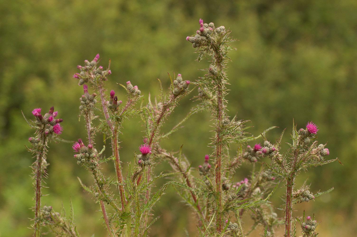 Image of <i>Cirsium palustre</i> (L.) Scop.