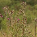Image of marsh thistle
