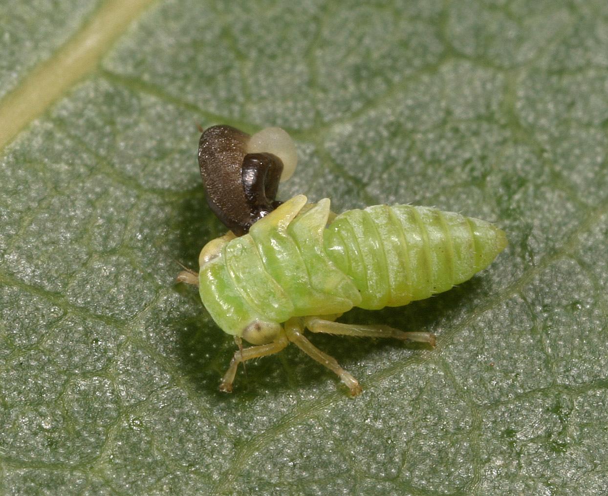 Image of <i>Anteon flavicorne</i>