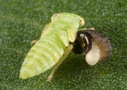 Image of <i>Anteon</i> cf <i>flavicorne</i>