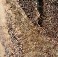 Image of <i>Microsphaeropsis hellebori</i> (Cooke & Massee) Aa 2002