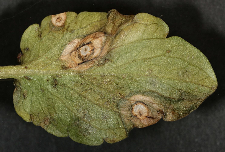 Image of <i>Ramularia agrestis</i> Sacc. 1882