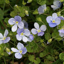 Image of slender speedwell