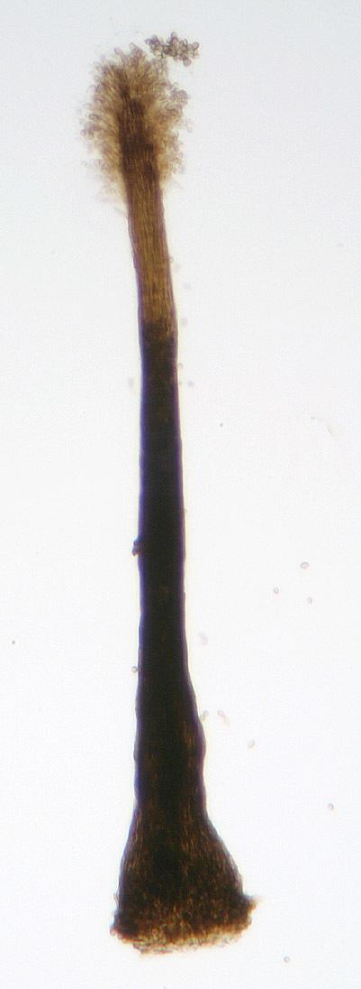 Image of <i>Cephalotrichum purpureofuscum</i> (S. Hughes) S. Hughes 1958