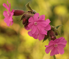 Image of red catchfly