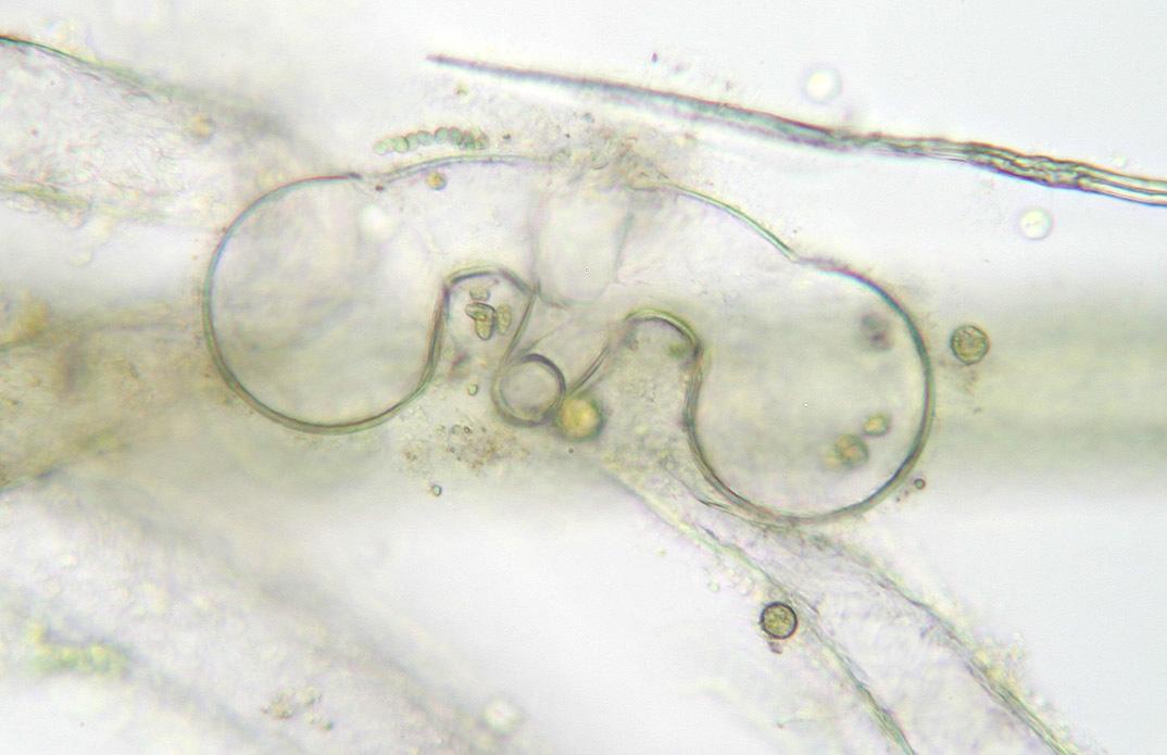 صورة <i>Vaucheria geminata</i>
