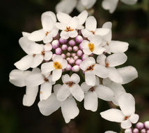 Image of annual candytuft
