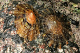 Image of Common limpet