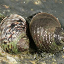 Image of black-lined periwinkle