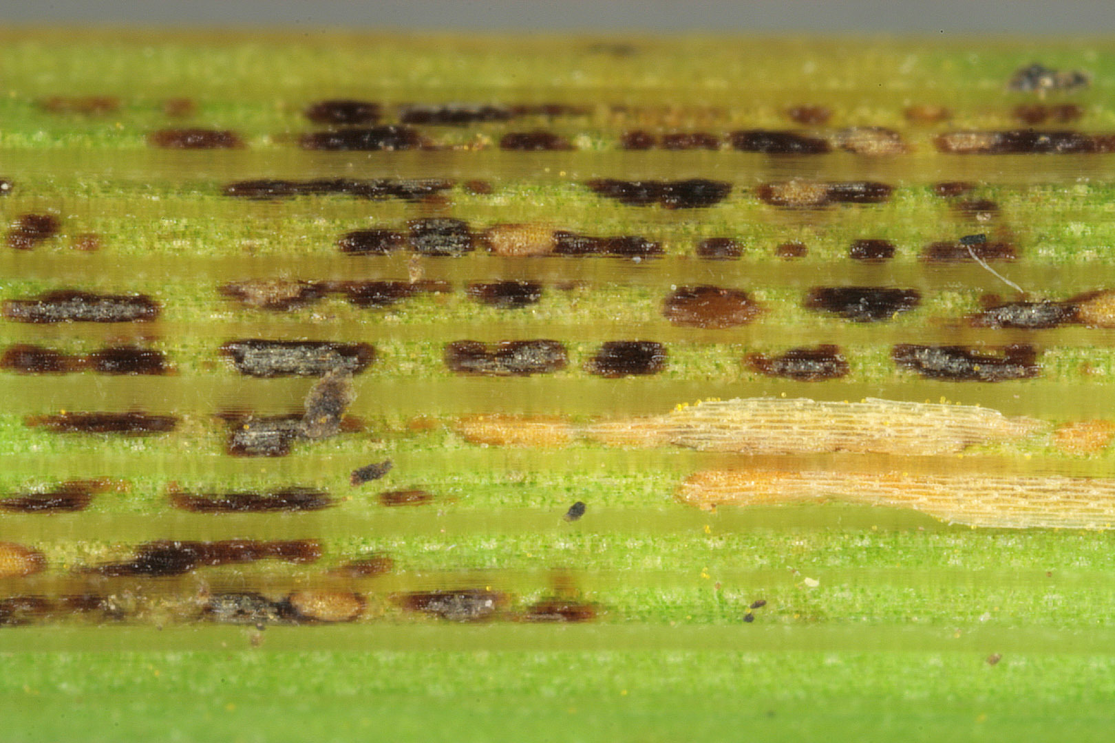 Image of Crown rust of oats