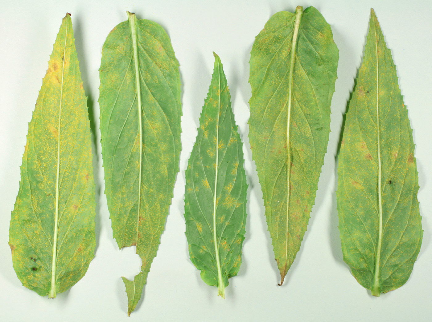 Image of Rust of Fuchsia