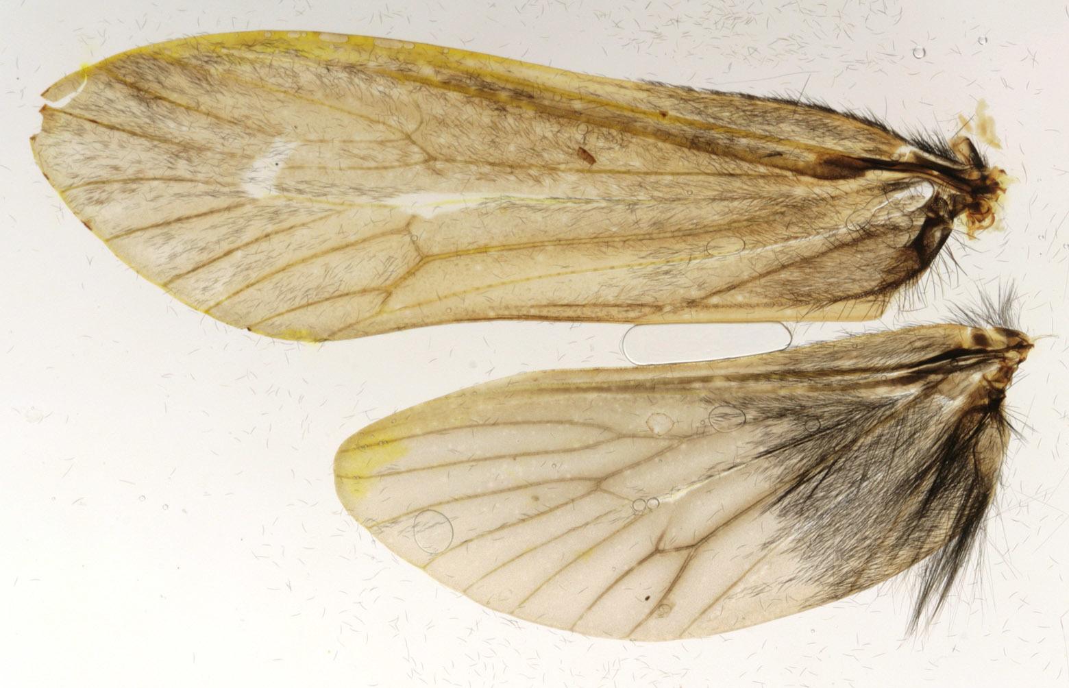 Image of <i>Sericostoma personatum</i> (Kirby & Spence 1826)