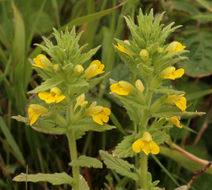 Image of yellow bartsia