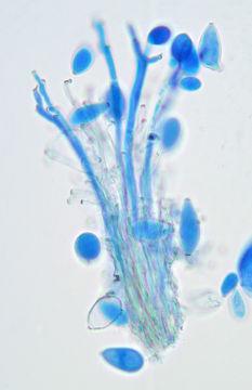 Image of <i>Phacellium rufibasis</i> (Berk. & Broome) U. Braun 1992