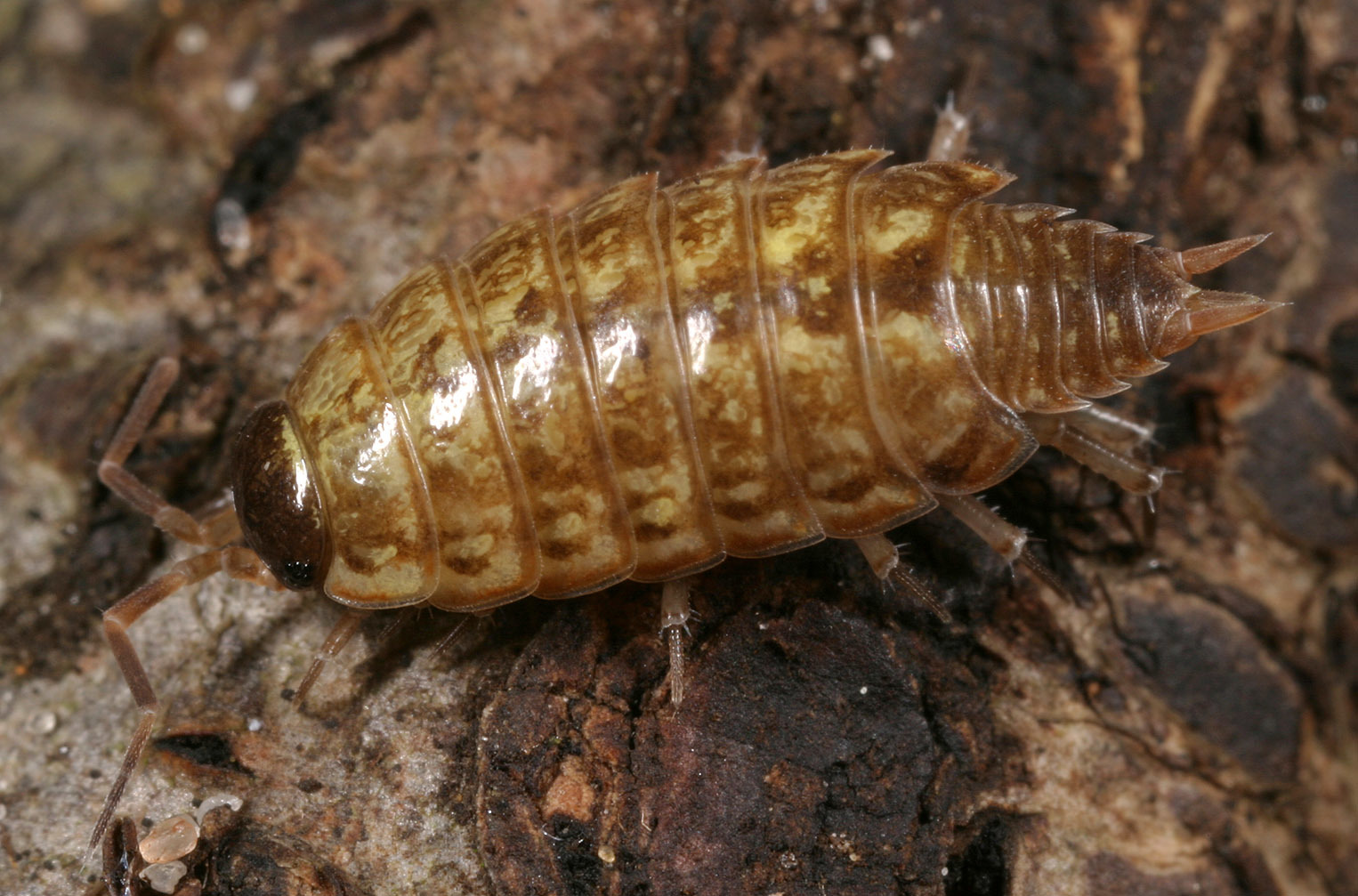Image of Common striped woodlouse