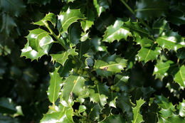 Image of Common holly