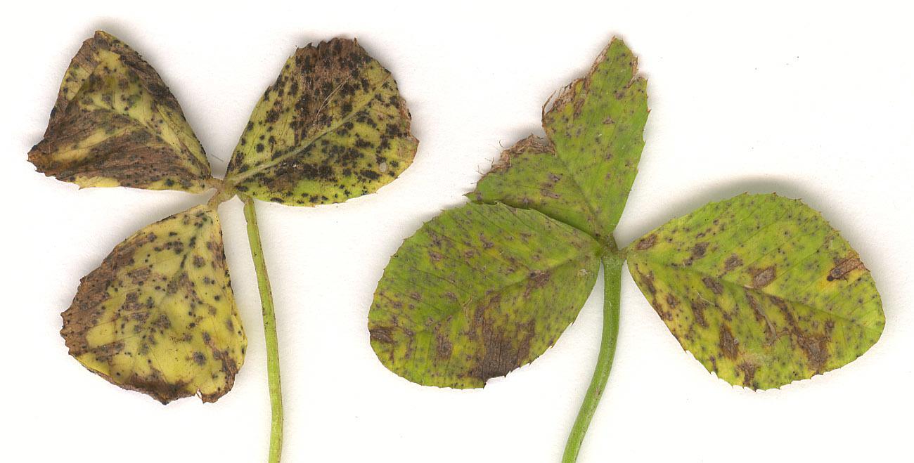 Image of <i>Cymadothea trifolii</i>