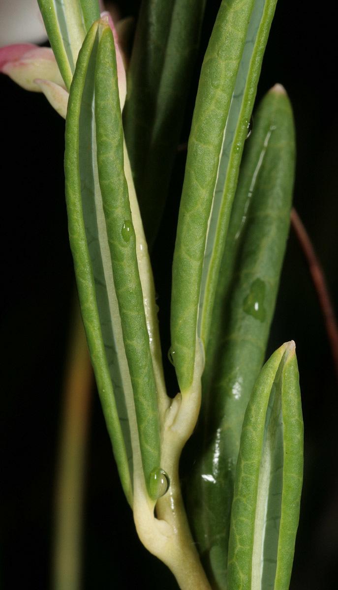 Image of bog rosemary