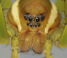 Image of Raft spider