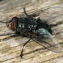 Image of Blue blowfly
