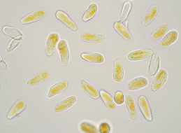 Image of <i>Melampsoridium betulinum</i> (Pers.) Kleb. 1899
