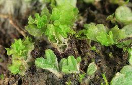 Image of <i>Fossombronia husnotii</i>