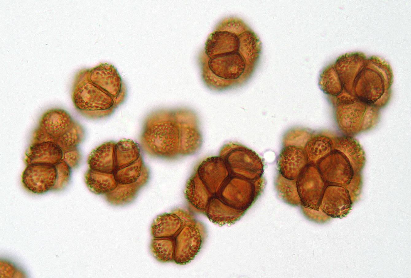 Image of <i>Thecaphora seminis-convolvuli</i>