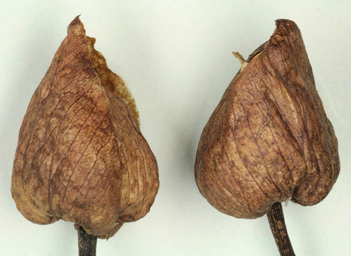 Image of Large Bindweed