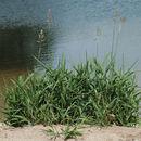 Image of <i>Phalaris <i>arundinacea</i></i> var. arundinacea