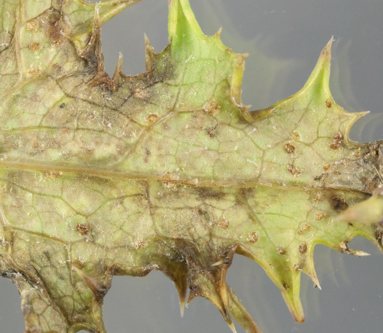 Image of <i>Miyagia pseudosphaeria</i> (Mont.) Jørst. 1962