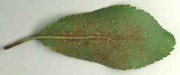 Image of <i>Tranzschelia pruni-spinosae</i> (Pers.) Dietel 1922