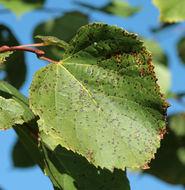 Image of <i>Mycosphaerella microsora</i>