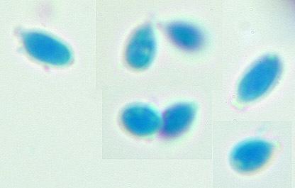 Image of <i>Calcarisporium arbuscula</i> Preuss 1851