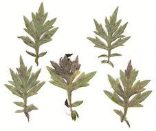 Image of <i>Golovinomyces artemisiae</i> (Grev.) V. P. Heluta 1988