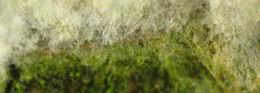Image of <i>Hyphodontia sambuci</i>