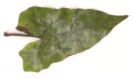 Image of <i>Erysiphe convolvuli</i> DC. 1805