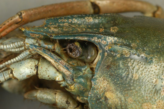Image of Columbia River Signal Crayfish