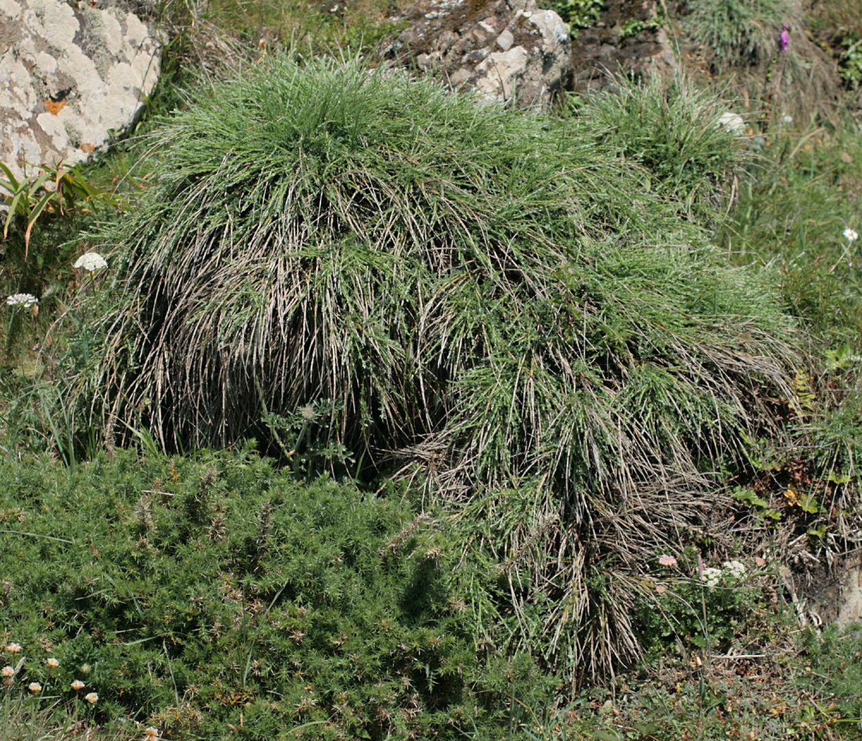 Image of <i>Cytisus scoparius</i> ssp. <i>maritimus</i> (Rouy) Heywood