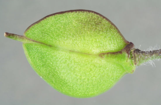Image of Smith's Pepperwort