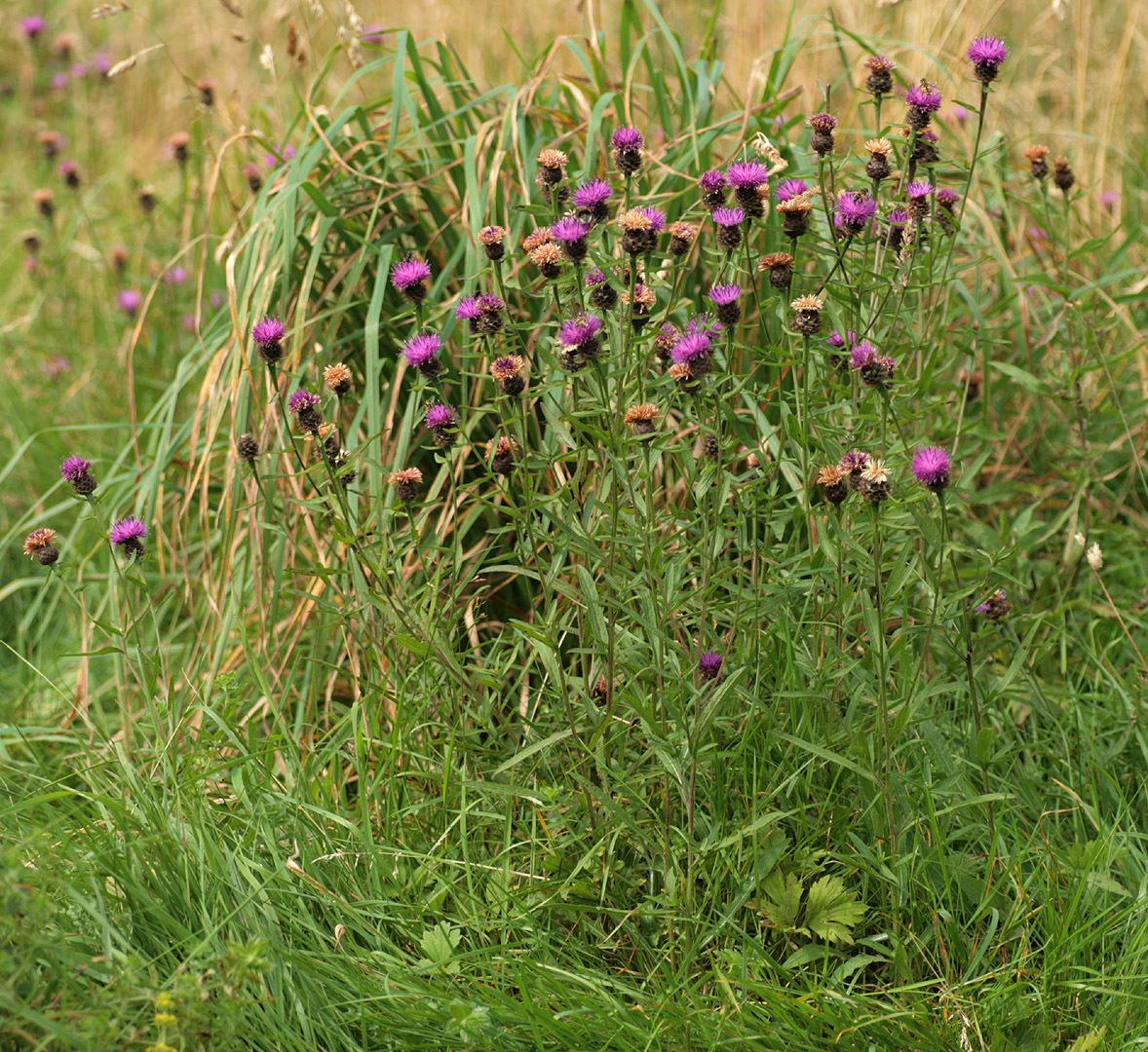 Image of <i>Centaurea <i>nigra</i></i> var. nigra