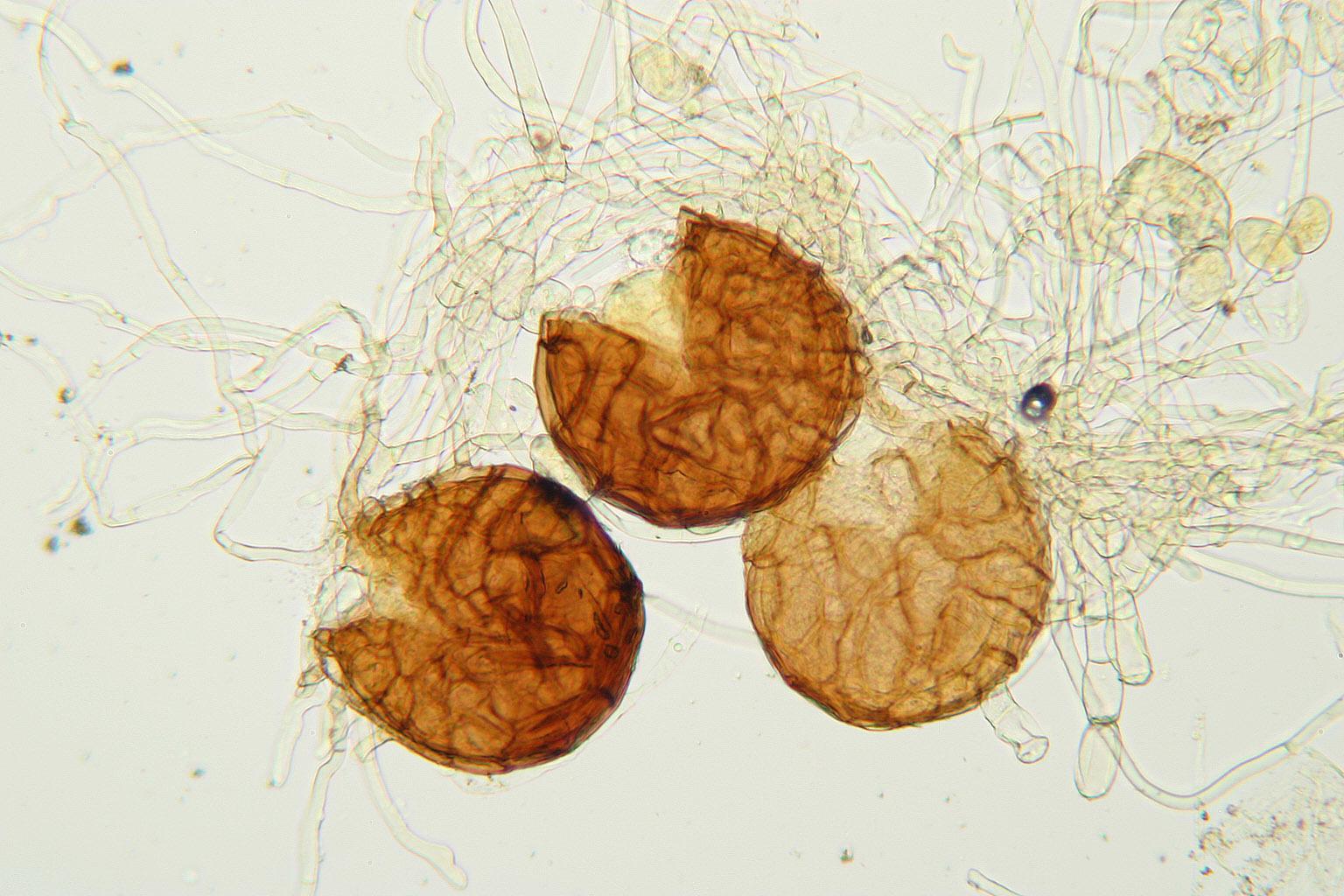 Image of <i>Podosphaera fusca</i> (Fr.) U. Braun & Shishkoff 2000