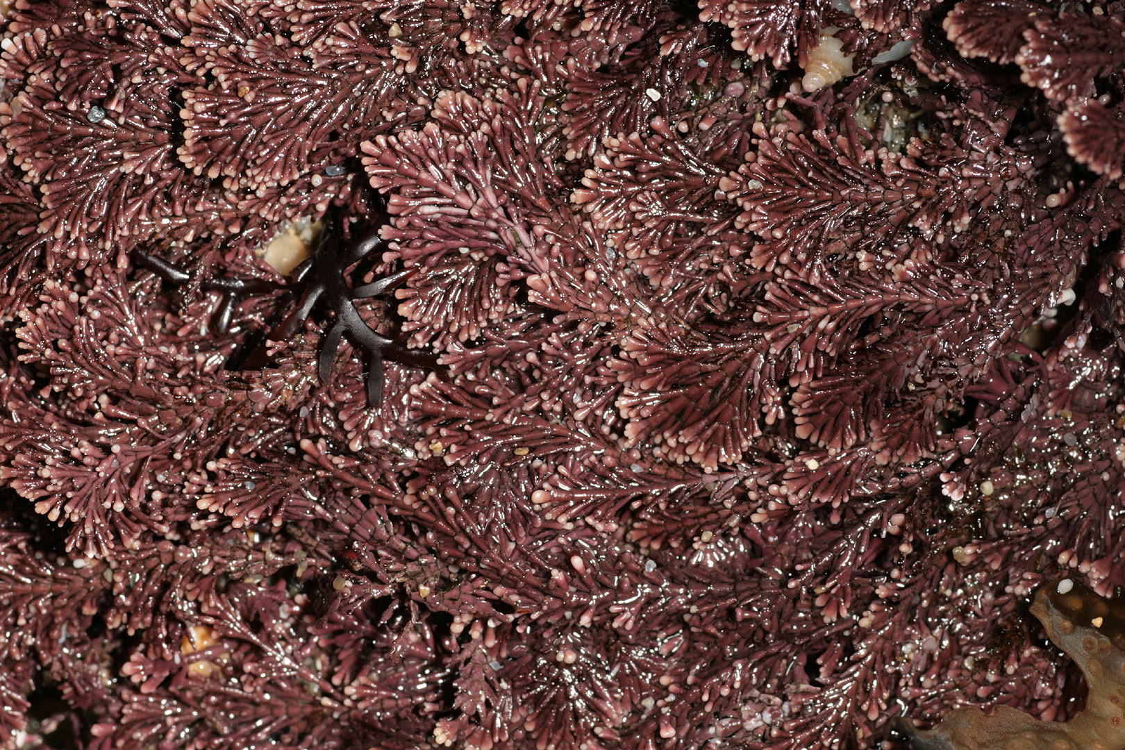 Image of common coral weed